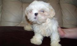 I have one CKC Reg. Shih-Tzu puppy who has had his first shot's and has been wormed. If you would like to see him he will be at Flea Land of Bowling Green Ky. inside at booth 64A on Sat. and Sun. from 9AM to 5PM or you can call Amy at 270-780-4395 . I can