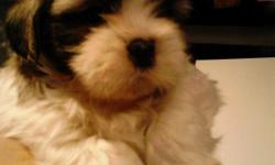 Shih tzu puppies for sale.6 weeks old. Born 10/10/12. 4males 2 females. All white and brown. Please call --.