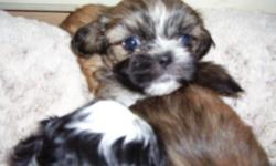 1tiny female,white & black so cute,healthcert.AKC, will be small9weeksold.call863-401-9585,other female 3months brindlecolors & potty trained, 450.00