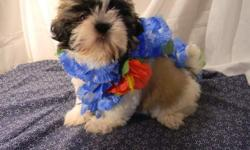 Male AKC registered Shih Tzu puppy that is already Neutered $275. Shorkie, male $250. Both up to date on shots.