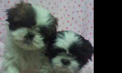 THESE ARE MY TWO BEAUTIFUL FEMALE 7 1/2 WEEK OLD SHIH TZU PUPPIES FORSALE. THEY HAVE BEEN DEWORMED AND HAD FIRST SHOTS. PARENTS ARE CKC AND AKC REGISTERED. THEY ARE SO PLAYFUL AND ARE READY FOR NEW HOME. IF YOU ARE INTERESTED AND HAVE ANY QUESTIONS SEND