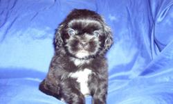 Blk and White Males 300$$......Blk and White Females 350$$$.......CKC registered, first shots, dewormed...call 828 242 7135......