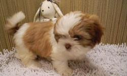 10 Shih Tzu puppies from 3 litters to chose from, butterscotch & white, chocolate, tri colored, black & white, AKC & ACA registered with full papers, males & females. 3 are spayed/nuetered $450. Possible delivery. 740-575-4994