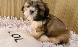 We have 3 litters of Shih Tzu puppies available all are 9 and 10 weeks old, ACA & AKC registered, males & females. Several colors including butterscotch & white & chocolates. $400 Reasonable priced delivery available on March 19th. 740-575-4994