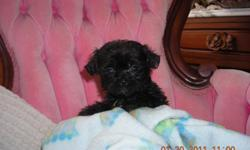 READY FOR VALENTINES DAY! THE PERFECT GIFT !!!!! We have male and female shipoo puppies. These puppies are very loving and so precious, they love to be held and are very gentle. These puppies do not shed, They are home raised. They are ready for new