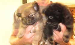 Pomeranian/Shizu mix puppies. 2 males 1 black 1 light brown 1 Female left, Drk Brown light brn mix. These pups are very lovable and ready to take. Mom is weening them off now. They are worm free, very cute, nice tempermants, and were loved so much while