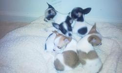 These Chihuahua puppies were born 30 May 2011 and although they are cute and adorable and I would def like to keep them all, unfortunately they need a new home. I have 2 males (1 blk/white & 1 tan/white) and 2 females (blk/white). I also have an 8 mth old