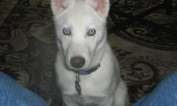 6 month old male Siberian Husky, neutered, microchipped, all shots up to date, puppy training.