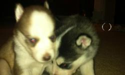 We have 2 adorable female Black/white and tan/white ACA Registered Siberian Husky puppies. They have blue eyes. We are currently accepting deposits of $100.00. They were born 06/01 and will be ready for their new homes on 07/20. They are on a de worming