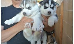 Siberian Husky,Male and Female, Black n grey. 10 weeks old. With Beautiful Markings . They already have their first set of shots.will be coming along all papers and accessories . Text 701-890-7569 for detailed info and pics .