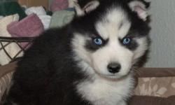 lovely siberian husky puppy for sale, champion blood pure breed , blue eyes contact for more info