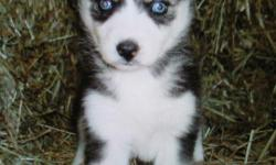 Siberian Husky puppy for sale to good home. Right in time for christmas!! $400 or best offer. Female. Black and white. Ten weeks old. Comes with registration papers, pedigree, health certificate, and health record.