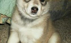 Beautiful Siberian Husky Wolf Hybrid Cubs. Exactly what he has been looking for, exactly what she wants. Who can resist puppy breathe! Don't miss your opportunity to love one of these rare and amazing animals. Call 202-326-3100 for information or Visit