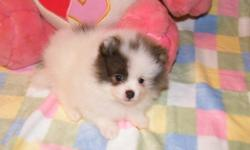 Small Pomeranian puppy available now. 1 female. Triple coat. Born 12/24/10. 1 year Health Guarantee. Current on vaccines. Raised in my home, healthy, and so...cute! Call Debra 334-794-0492 www.yourpuppystop.com Email debra7141@gmail.com I will drive to