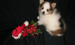 Pomeranian puppies available.  1 female, 1 male. Born 10/05/12.  Current on vaccines & deworming. 1 year Health Guarantee. CKC reg. Raised in my home, playful and so...cute! Very sweet personalities.  Call Gabby  --  I will