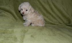 Real Small Toy Poodle Puppies Beautiful colors, Black, Back & white, Cream and Chocolate. DOB 7/30/11 First Puppy Vaccine C K C registered , Puppy warranty Comes with free Puppy Kit. Mother 7 lbs with picture , Daddy 4 lbs 256-282-4306 $450 Boys
