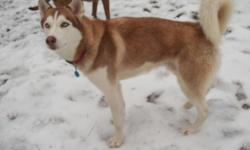 red and white husky without papers sky blue eyes for mating only james 7068301174