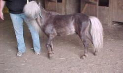 RFM King Tuts Ransome. He is 32.750'' high. Foaled July 10, 1996. Gray with mixed mane & tail. STUD SERVICE AVAILABLE : $200.00