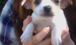 Sugar is a female CKC registered mini/toy type A tri color rat terrier with a natural bob tail. Born 2/25/11 she will have all shots and wormings. She can fly Delta Air for an added fee.