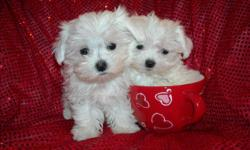 WE HAVE TWO GORGOUS MALTESE PUPS, NONSHED COAT, HYPO ALLERGENIC, SHOTS, WORMED, POTTY TRAINED ON PEE PADS, CRATE TRAINED, WONDERFULL LAP DOGS, WELL SOCIALIZED DAILY, READY TO GO TO NEW HOMES, 11 WKS OLD, PUPPY COMES WITH A DOG CARRIER PURSE, BED,TOYS, T