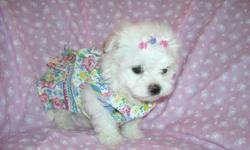 WE HAVE TWO MALTESE/1/4BICHON ONE BOY/FEMALE, NONSHED, SHOTS, WORMINGS, POTTY TRAINING ON PADS, SLEEP THRU NITE, READY TO GO WITH THIER COAT, BLANKEY, TOYS, PURSE, PADS, SNACKS, AND HEALTH RECORDS, ASKING $599-$699,PLEASE CALLS ONLY TO 561-848-2513