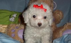 WE HAVE A GORGOUS FEMALE/MALE POODLE NONSHED SOFT COAT, HYPO ALLERGENIC, SHOTS, WORMED, POTTY TRAINED ON PEE PADS, CRATE TRAINED, WONDERFULL LAP DOGS, WELL SOCIALIZED DAILY WITH FAMILY AND KIDS, READY TO GO TO NEW HOME, PUPPY COMES WITH A GOODY HANDBAG,