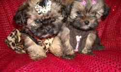 WE HAVE TWO GORGOUS FEMALE PUPS, YORKIE/SHIHTZU,NONSHED SOFT COAT, HYPO ALLERGENIC, SHOTS, WORMED, POTTY TRAINED ON PEE PADS, CRATE TRAINED, WONDERFULL LAP DOGS, WELL SOCIALIZED DAILY WITH FAMILY AND KIDS, READY TO GO TO NEW HOMES,, PUPPY COMES WITH A