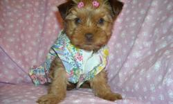 GORGOUS YORKIE FEMALE W 1/4 SHIHTZU, HYPO ALLERGENIC, SHOTS, WORMINGS, PEE PAD TRAINED, SLEEPS THRU NITE IN HER CRATE, VERY QUIET AND CUDDLY, READY TO GO WITH HER BLANKEY, COAT, TOYS, PURSE, SNACKS, PADS AND HEALTH RECORDS, ASKING 650, ONLY RESPOND TO
