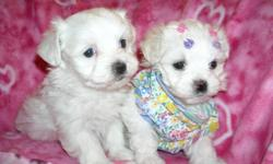 WE HAVE A GORGOUS T-CUP MALTESE PUPS, NONSHED COAT, HYPO ALLERGENIC, SHOTS, WORMED, POTTY TRAINED ON PEE PADS, CRATE TRAINED, WONDERFULL LAP DOGS, WELL SOCIALIZED DAILY WITH FAMILY AND KIDS, READY TO GO TO NEW HOMES, 7 WKS OLD, PUPPY COMES WITH A GOODY