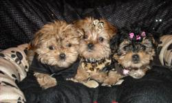 GORGOUS TEACUP MORKIES, FIRST GENERATION, HALF YORKIE/HALF MALTESE, NONSHED SILKY COATS, POTTY TRAINED ON PEE PADS, EXCELLENT TEMPERMENT, SHOTS, WORMINGS, WELL SOCIALIZED WITH FAMILY AND CHILDREN, WE HAVE TWO LITTERS 8-10WKS OLD, PUPPIES ARE READY FOR NEW
