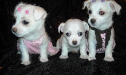 ADORABLE 1/2 MALTESE/1/2 CHIHAUHAU, SHOTS, WORMED, CRATE AND PEE PAD TRAINED, SOCAILIZED DAILY WITH FAMILY AND KIDS, READY TO GO NOW TO FOREVER HOMES, PUPPY COMES GROOMED, A HANDBAG, TOYS, SHIRT, PADS, FOOD AND HEALTH RECORDS, TWO GIRLS AND ONE TINY BOY,