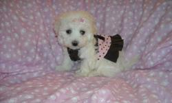 WE HAVE A GORGOUS T-CUP MALTESE PUP, NONSHED COAT, HYPO ALLERGENIC, SHOTS, WORMED, POTTY TRAINED ON PEE PADS, CRATE TRAINED, WONDERFULL LAP DOGS, WELL SOCIALIZED DAILY WITH FAMILY AND KIDS, READY TO GO TO NEW HOMES, 8WKS OLD, PUPPY COMES WITH A GOODY