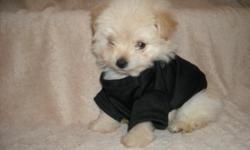 WE HAVE A GORGOUS MALTESE/POODLE PUP, NONSHED COAT, HYPO ALLERGENIC, SHOTS, WORMED, VET CHECKED, POTTY TRAINED ON PEE PADS, CRATE TRAINED, WONDERFULL LAP DOGS, WELL SOCIALIZED DAILY, READY TO GO TO NEW HOMES, 8 WKS OLD, PUPPY COMES WITH A GOODY HANDBAG,