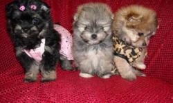 GORGOUS BABYDOLL FACES, 1/2MALTESE-1/2POMERANIAN, SHOTS, WORMED, 1MALE/2FEMALES, CRATE TRAINED, POTTY TRAINED ON PEE PADS DOING EXCELLENT, SOCIALIZED DAILY WITH FAMILY & KIDS, WONDERFULL LAP BABIES AND PURSE SIZE BABIES, SHORT COBBY BODIES AND SHORT LEGS,