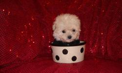 WE HAVE A GORGOUS MALTESE/POODLE PUP, NONSHED COAT, HYPO ALLERGENIC, SHOTS, WORMED, POTTY TRAINED ON PEE PADS, CRATE TRAINED, WONDERFULL LAP DOGS, WELL SOCIALIZED DAILY, READY TO GO TO NEW HOMES, 8 WKS OLD, PUPPY COMES WITH A GOODY HANDBAG, TOYS, T SHIRT,