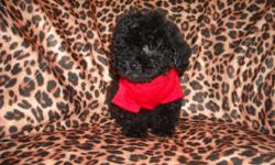 WE HAVE AN ADORABLE MALTESE/POODLE MIX, MALE, SOFT FLUFFY COAT, SHOTS, WORMINGS, POTTY TRAINING ON PAD, SOCIALIZED DAILY WITH FAMILY, GREAT TEMPERMENT, LUV TO CUDDLE AND PLAY, GREAT LAP BABY, SWEET AND PLAYFULL, READY NOW TO GO TO NEW HOME, 9WKS OLD,