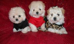 WE HAVE 3 GORGOUS MALTESE/POODLE PUPS, NONSHED COATS, HYPO ALLERGENIC, SHOTS, WORMED, POTTY TRAINED ON PEE PADS, CRATE TRAINED, WONDERFULL LAP DOGS, WELL SOCIALIZED DAILY, READY TO GO TO NEW HOMES, 8 WKS OLD, PUPPY COMES WITH A GOODY HANDBAG, TOYS, T