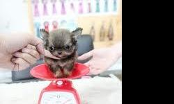 teacup pomeranian, 9 weeks old only 8 oz. parents are only 3lb.. short body short legs and babydoll face. 1500 with reg papers or 800 without.. text or call 561-842-1918.. she is the size of a teddy bear hamster. very very tiny!!