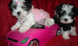 WE HAVE 2 GORGOUS HALF YORKIE BIEWER/ HALF MALTESE PUPS, MALE/FEMALE, NONSHED SILKY COATS, HYPO ALLERGENIC, SHOTS AND WORMINGS UP TO DATE, CRATE AND PAD TRAINED, SOCIALIZED DAILY WITH FAMILY, GREAT LAP BABIES, VERY INTELLIGENT AND LOYAL DOGS, THEY ARE 8