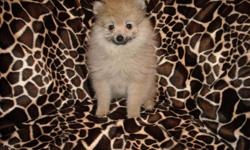 GORGOUS POMERMANIAN PUREBRED MALE,SOFT FLUFFY COAT, 2 SHOTS, 2 WORMINGS, POTTY TRAINING ON PAD, SOCIALIZED DAILY WITH FAMILY, GREAT TEMPERMENT, LUV TO CUDDLE AND PLAY, GREAT LAP BABY, SWEET AND PLAYFULL, READY NOW TO GO TO NEW HOME, 10WKS OLD, PUPPY COMES