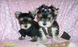 GORGOUS TINY YORKIE/MALTESE MIX, NONSHED SILKY COAT, SHOTS, WORMED, HYPO ALLERGENIC, SOCIALIZED DAILY WITH FAMILY AND KIDS. READY FOR NEW HOMES NOW AT 8 WKS OLD, PUPPY COMES WITH A T- SHIRT, TOYS, PADS, FOOD, AND HEALTH RECORDS, HEALTH GARUNTEE, EXCELLENT
