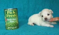 We Have 2 Male And 1 Female Maltese, AKC Registered ,Born 4-22-11 Will Be 8 Weeks Old 6-17-11. Taking Deposit To Hold..Paypal Or Walmart Money Gram..Then Rest In Cash When Picked Up..Price Is $500.00 Each For The Boys And $600.00 For The Girl, Picked Up
