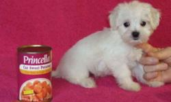 We Have 2 Girls And 1 Boy AKC Registered Maltese,Born 9-27-10 Will Be 8 Weeks Old 11-22-10.Mom Is 4Lbs 8ozs With 10 Champs In Pedigree And Dad Is 3Lb 4ozs With 3 Champs In Pedigree.. Asking $600.00 For A Girl & $500.00 For A Boy, Picked Up In Farmington,