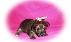 Beautiful female Chorkie puppy !  She will be ready to leave January 4th.  $250.  A $100 deposit will hold her with the balance paid at pick up.  She comes with her health records and first vaccination.  She should be 5-6 lbs full
