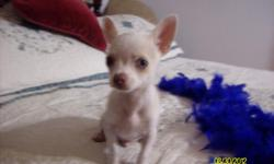 Chihuahua pup 1 male smooth coat very tiny. The estimated weight will be 2.5 to 3 lbs at full growth. Little snoopy Jr. is from a Choc/liver colored Merle male smooth coat and a Tri color long coat female both parents have super personality's and