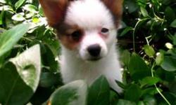 Check out http://www.cryercreekkennel.com and see Tiny little Bandit and his brothers. He is a Papillon, meaning he will be totally loyal to his family. He will be a perfect lap dog because of his tiny size and love to snuggle. Papillon's are know as