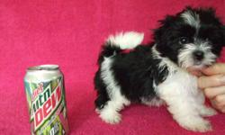 We Have 2 Female Mal-Shi, Registered Designer Pets, Born 4-1-11 Will Be 8 Weeks Old 5-27-11. Mom Is 6 Lb Shihtzu With 2 Champs In Pedigree Dad Is 3 Lb 4oz Maltese With 3 Champs In Pedigree. Asking $500.00 Each For The Girls, Picked Up In Farmington, Mo.