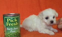 We Have 1 Girl And 2 Boys AKC Registered Maltese,Born 4-22-11 Will Be 8 Weeks Old 6-17-11.Mom Is 4Lbs 8ozs With 10 Champs In Pedigree And Dad Is 3Lb 4ozs With 3 Champs In Pedigree.. Asking $600.00 For A Girl & $500.00 For A Boy, Picked Up In Farmington,