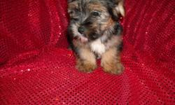 GORGOUS YORKIE/MALTESE, SILKY NONSHED COATS, 1st GENERATION, POTTY TRAINED ON PADS, CRATE TRAINED, SHOTS, WORMINGS, GREAT LAP BABIES, GREAT TEMPERMENT, SOCIALIZED DAILY WITH FAMILY AND KIDS, READY TO GO NOW TO FOREVER HOMES, 8 WKS OLD, PUPPY COMES