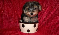 adorable tiny yorkie/poodle male, nonshed silky coats, shots, wormings, potty training on pad, socialized daily with family, great temperment, luv to cuddle and play, great lap baby, sweet and playfull, ready now to go to new home, 10 wks old (still only
